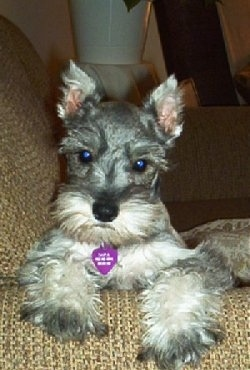 Front view head and front paw shot - A grey with white Miniature Schnauzer puppy is laying against the arm of a tan couch.