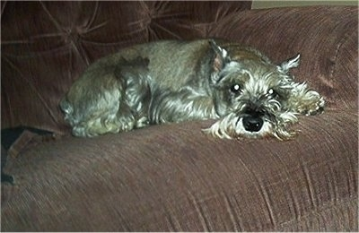A grey Miniature Schnauzer is laying down on a brown cloth couch.