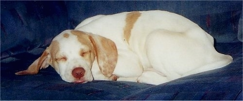 A white with tan Pointer puppy is sleeping on a blue couch.