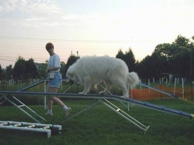 A Great Pyrenees is climbing up a blue ramp obstacle on an agility course. There is a lady jogging beside the dog.