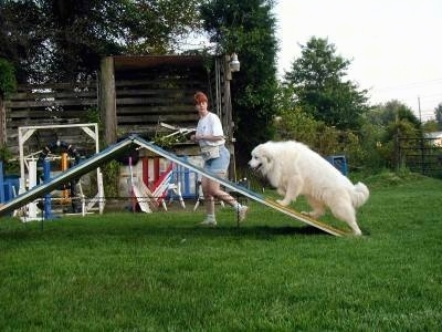 A Great Pyrenees is climbing an obstacle on an agility course. There is a lady jogging beside it.