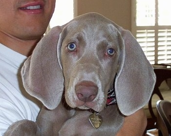 Weimaraner Puppies on Weimaraner Information And Pictures
