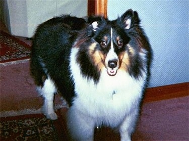 Front view - A fluffy, black and white with tan Shetland Sheepdog is standing in a doorway on a rug and it is looking forward, its mouth is open and it looks like it is smiling.