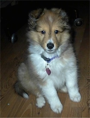 Close up front view - A fluffy brown and white Shetland Sheepdog puppy is sitting on a hardwood floor and it is looking forward.