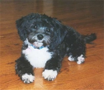 Maggie the Shih-Poo as a 4 month old puppy