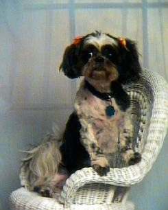 A shaved black and white Shih-Tzu dog standing against the arm of a white wicker chair. It has ribbons over each ear and it is looking forward. It has longer hair on its ears and tail.