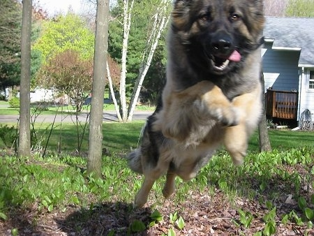 Sunny the Shiloh Shepherd in mid jump towards the camera holder
