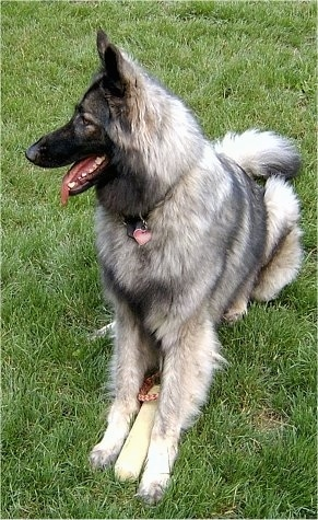 Front side view - A long coated, black and grey with tan Shiloh Shepherd is sitting in grass and it is looking to the left. Its mouth is open and its tongue is sticking out. It has a toy between its front paws and a heart shaped ID tag hanging from its collar.