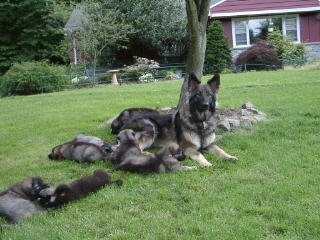 A black with grey and tan Shiloh Shepherd is laying outside in grass and to the left of the dog is a litter of Shiloh Shepherd puppies laying around her. There is a red house in the background