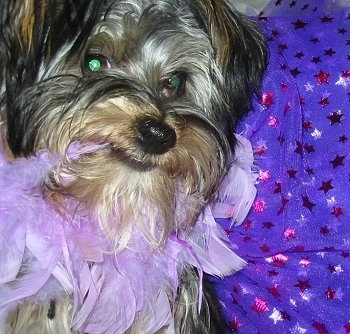 Close up - A black and tan Silky Terrier puppy is looking forward and it is chewing on the light purple feather tutu that it is wearing. Its eyes are glowing green.