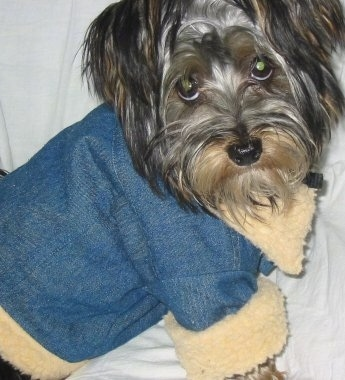 Close up - A long haired, black and tan Silky Terrier dog is sitting across a couch with a white blanket over it, it is wearing a blue jean jacket with a tan trim and it is looking forward.