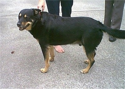 The left side of a large-breed, black with tan Smalandsstovare dog standing across a blacktop surface, its head is turned forward and its mouth is slightly open. It has a long tail with thick fur on it.
