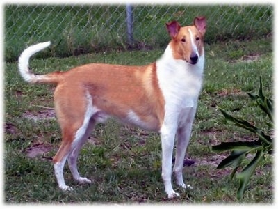Malcolm the tan and white Smooth Collie is standing in grass and looking towards the camera holder with a chain link fence behind him