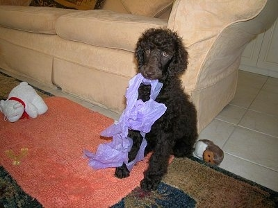 A black Standard Poodle puppy is sitting against the back of a tan couch and on a rug. It has a purple cloth in its mouth and it is looking forward.
