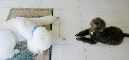 A white Standard Poodle dog is laying on a rug and looking down. There is a smaller black Standard Poodle dog laying across a white tiled floor looking up.