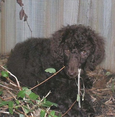 Close up front view - A black Standard Poodle puppy laying in dirt looking forward and behind it is a wooden privacy fence.