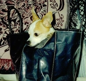 Pedro the Chihuahua is inside of a black leather handbag on a couch