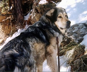 The back right side of a huge, extra large breed, black and tan with white Tibetan Mastiff dog with its front paws standing up a hill with snow on it looking to the right. The dog has small fold over hears and a thick coat and a black nose.