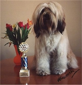 Front view - A longhaired, white with tan and black Tibetan Terrier is sitting on a circular wooden table, it is looking forward, there is a potted flower plant and a trophy to the left of it.