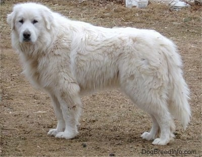 Side-view - A Great Pyrenees is standing in dirt