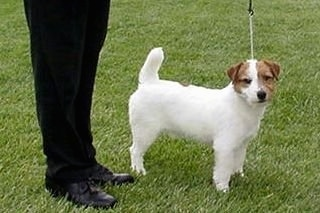 A white with tan Jack Russell Terrier is standing in grass next to a person in black pants