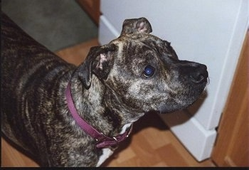 Upper body shot - A brindle Valley Bulldog/Pit Bull mix is standing on a hardwood floor next to a white wall in front of a doorway and it is looking up and to the right.