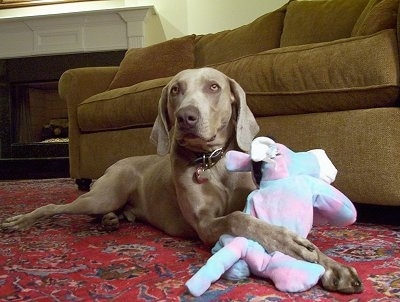 A Weimaraner dog is laying on rug and to the right of it is a brown couch. Its front paws are overtop of a pink and light blue plush doll.