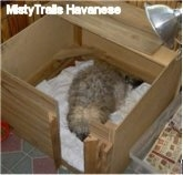A tan mother dog laying down in a square wooden whelping box.