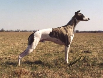 The right side of a white and grey Whippet dog that is standing across a field. It has a long skinny body with a high arch. Its long ears are pinned back and its snout is long.