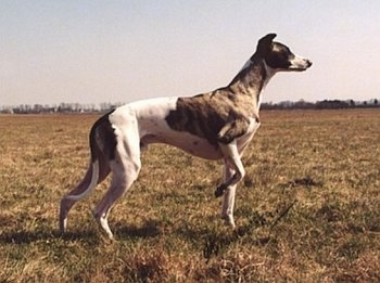 The right side of a white with brindle Whippet dog that is standing in a field and it is looking to the right. Its left paw is in the air.
