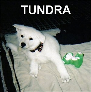 An American White Shepherd Puppy is sitting on a blanket and it is scratching its head. It is next to a toy and overlayed are the words 'Tundra'.