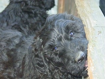 Whoodles  -  Soft Coated Wheaton Terrier / Poodle cross