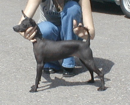 The left side of a hairless black Xoloitzcuintli dog standing on a street and it is being posed in a show stack by a person kneeling behind it. The dog has a long thin tail, large perk ears and a long skinny snout.