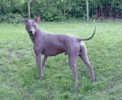 The back left side of a brown Xoloitzcuintli dog standing in grass looking forward. The dog has a long thin tail, a smooth gray body with wrinkles around its neck, one large perk ear that stands up and one that folds over to the front.