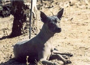 The right side of a brown Xoloitzcuintli that is laying in dirt in front of a tree. It has large perk ears, a dark nose and dark eyes.
