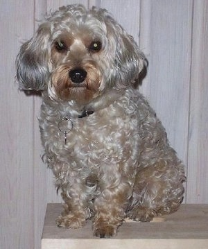 The left side of a curly-coated, grey with tan and brown Yorkipoo that is sitting on a wooden bench and it is looking forward. It has ears that hang down to the sides with long straight hair on them.