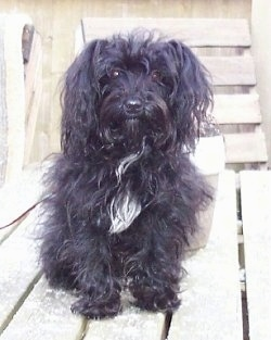 A longhaired, black with white Yorkipoo dog sitting on a wooden porch and it is looking forward. It has ears that hang down to the sides with long black hair on them, a black nose and round dark eyes.