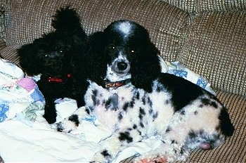 The left side of a white and black Yorkipoo and to the left of it is a smaller black Yorkipoo dog. They are laying on a blanket and they are looking up.
