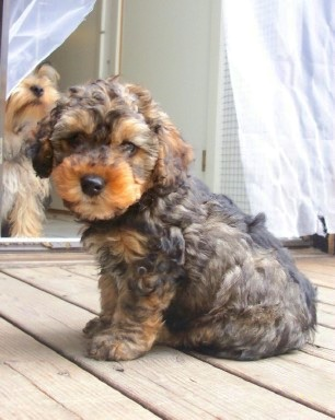 The left side of a thick wavy-coated, black with brown Yorkipoo puppy ...