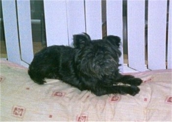 The front right side of a black Affenpinscher that is laying on a bed in front of a window