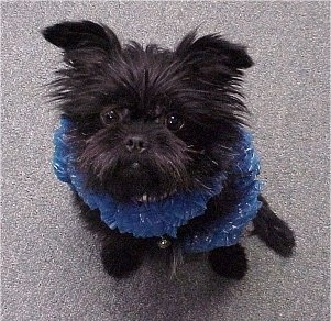 Top down view of A black Affenpinscher puppy that is sitting on a carpet and wearing a boa with a bell