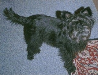 Topdown view of a black Affenpinscher that is standing in front of a carpet and it is looking up.
