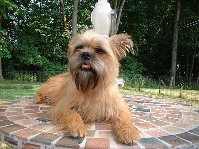 The front right side of a tan Affenpinscher is laying on brick faced patio table near umbrella