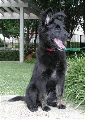 A medium-haired, perk-eared, black Border Collie/Golden Retriever/Rottweiler/Doberman puppy is sitting on a porch and it is looking to the right. Its mouth is open and tongue is out. There is a bush next to it.