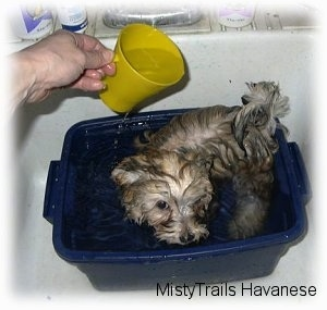 A small tan puppy is standing in a blue tub basin filled with water and a person is pouring water on top of the puppy using a plastic yellow cup.