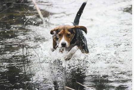 Snoopy the Beagle is running through water