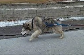 The left side of a white and grey Alaskan Malamute that is pulling weights.