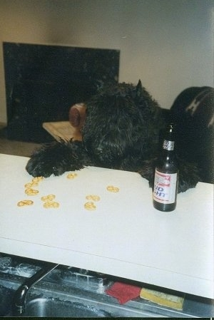 Maury the Bouvier des Flandres standing up against the liquor bar looking at crackers with a Bud Light beer next to his paw