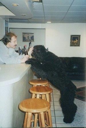 Maury the Bouvier des Flandres jumped up at a liquor bar with a person holding a beer bottle on the other side