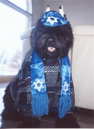 Maury the Bouvier des Flandres sitting on a floor dressed like a Rabbi